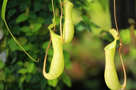 tropical pitcher plants or monkey cups in garden
