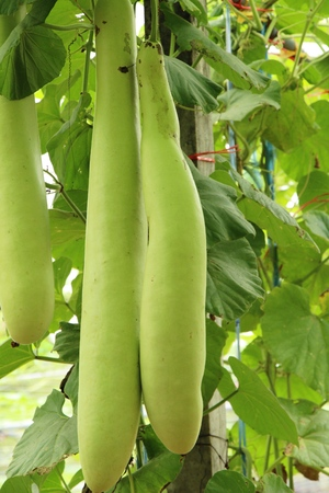 Winter melon with nature in the garden