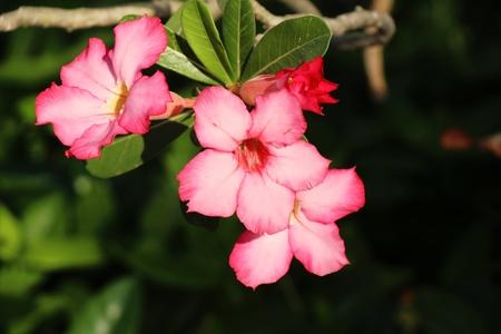 Azalea flowers is beautiful in the garden