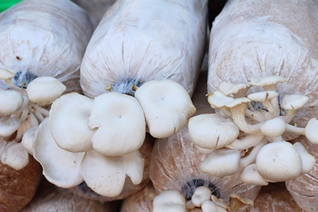 Mushroom cultivation farm organic with the nature