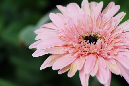 Gerbera flowers with the nature in garden