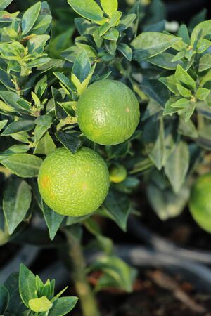 Ripe orange fruit hangs on the tre Stock Photo