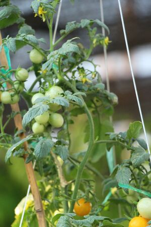 Fresh tomatoes on the tree in garden