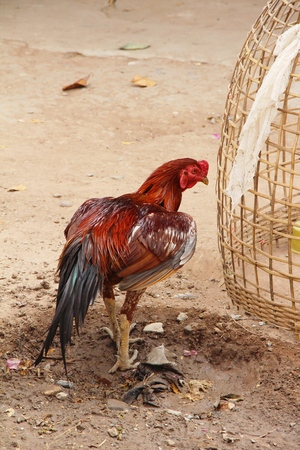 Fighting cock with the nature in garden Stock Photo