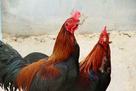Fighting cock with the nature in garden 스톡 콘텐츠
