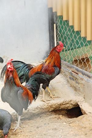 Fighting cock with the nature in garden Stock fotó