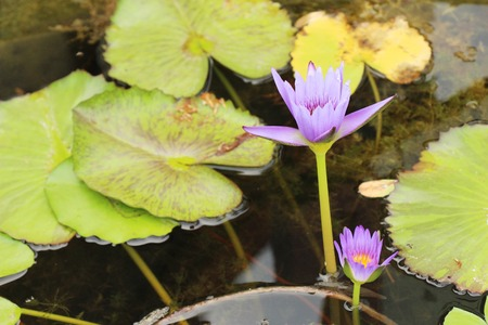 Beautiful lotus in the pond with nature