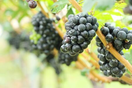Fresh grapes in the vineyard with nature Banco de Imagens