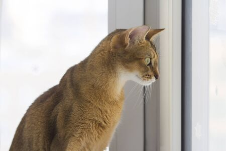 admires: Abyssinian cat admires the winter through the window