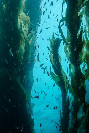 Schooling Fish in Kelp Forest