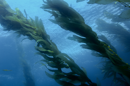 Underwater view of a kelp forest looking up at the surface of the ocean