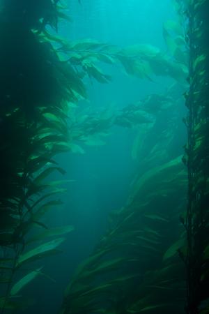 Deep portrait of an underwater kelp forest