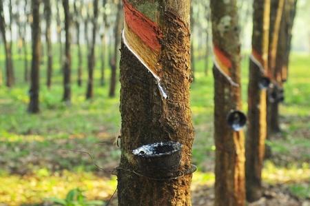 goma: Bosque de caucho