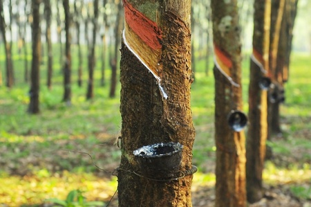 plantation: Rubber forest Stock Photo