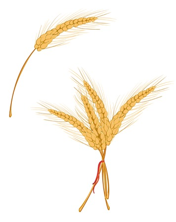 Ripe wheat isolated on white as agriculture concept Stock Vector - 5917860