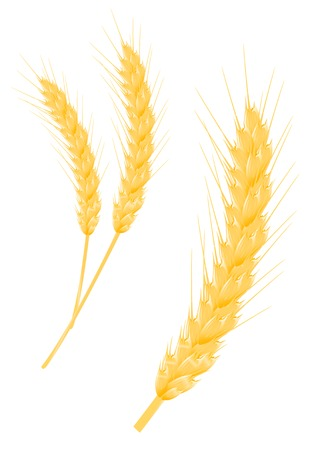 Ripe wheat ear as a agriculture concept Vector