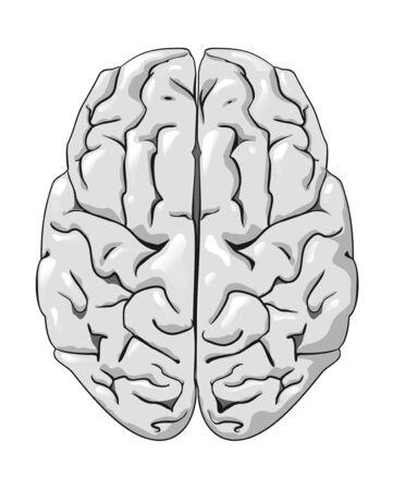 anatomy brain: Cervello umano isolato su bianco come un concetto di medicina  Vettoriali