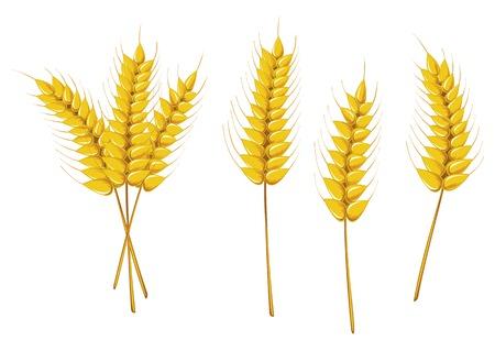 cereal: Trigo maduro aislado en blanco como un concepto de agricultura