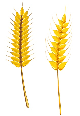 cereal plant: Ripe wheat and barley isolated on white for agriculture design