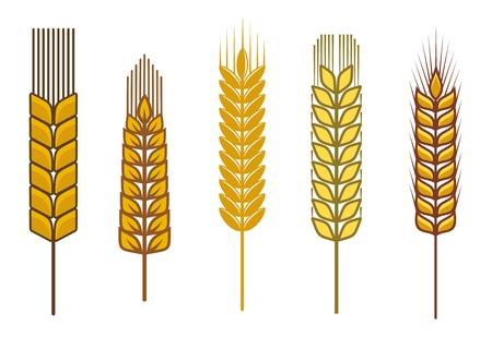 espiga de trigo: Semillas de cereales y s�mbolos aislados en blanco