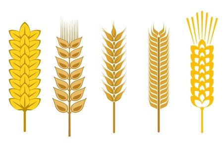 centeno: Semillas de cereales y s�mbolos aislados en blanco