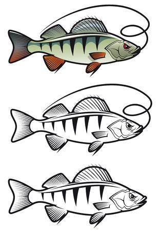 tail fin: Perca en tres variantes aisladas sobre fondo blanco para la mascota de la pesca y el dise�o del emblema