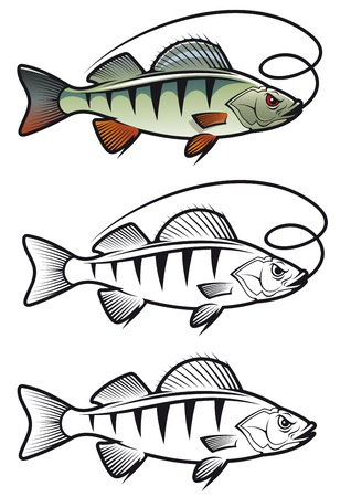 baits: Perch fish in three variations isolated on white background for fishing mascot and emblem design