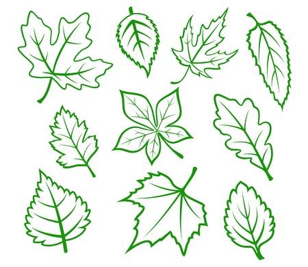 oak leaf: Set of green leaves isolated on white background