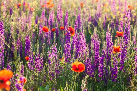 Field of violet lavender and red poppy flowers on morning light photo