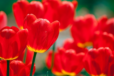 spring time: Beautiful red tulips field in spring time  Stock Photo