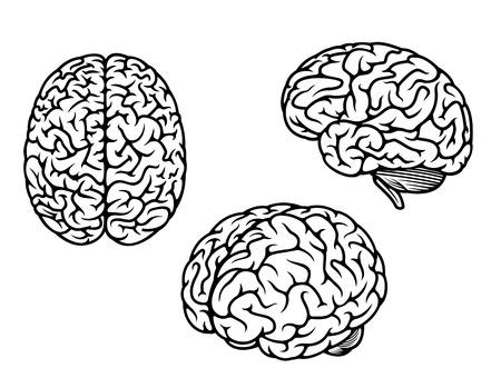 healthy brain: Human brain in three planes for medical design