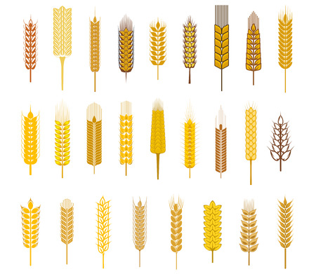 Large collection ears of cereals and grains such as wheat, barley and rye in golden silhouette icons on white for agriculture design