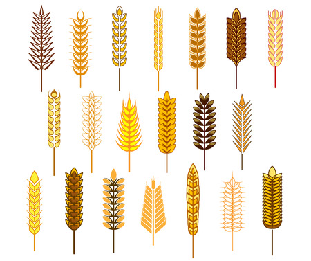 corn field: Ears of cereals and grains icons set depicting wheat, rye, barley and oats isolated on white background Illustration