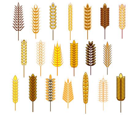 mazorca de maiz: Orejas de cereales y granos de conjunto de iconos que representan el trigo, centeno, cebada y avena aisladas sobre fondo blanco Vectores