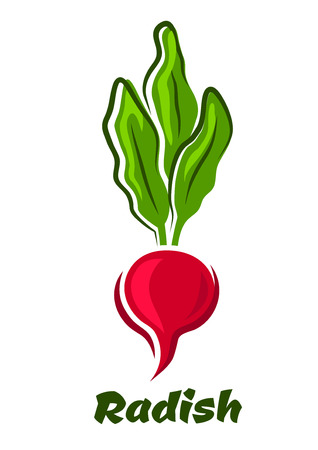 lush: Fresh radish in cartoon style with bright pink round root vegetable, lush sappy haulms, isolated on white background for healthy nutrition design Illustration