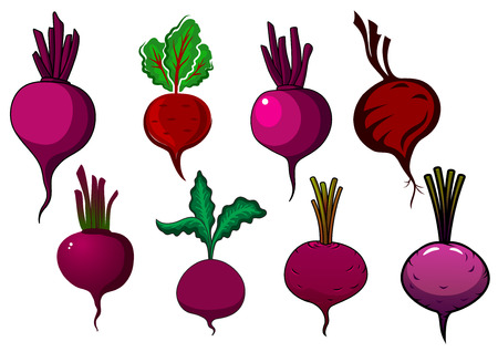 tuber: Garden purple beets and beetroots vegetables with sappy stalks and wavy green leaves, for fresh food or agriculture design Illustration