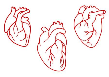 donacion de organos: Corazones humanos rojos en estilo de esquema con la aorta, venas y arterias aisladas sobre fondo blanco. Para cardiología diseño o médicos Vectores