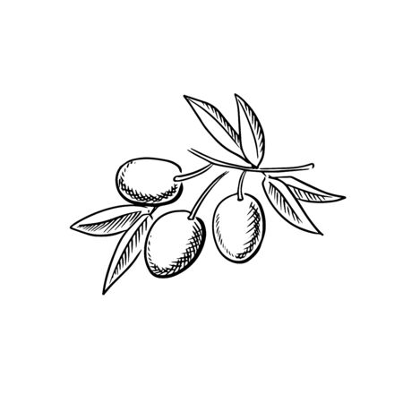 Branch of ripe olives, isolated on white background, for agriculture and food themes. Hand drawn sketch style, not trace