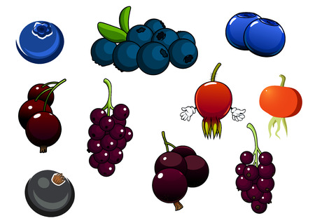 bunches: Fresh healthy organic blueberries, blackcurrant bunches and red briars fruits isolated on white Illustration