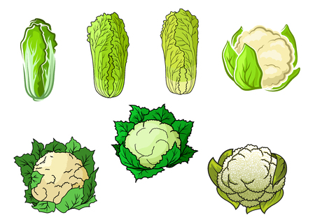napa: Sappy green cauliflower and chinese cabbage vegetables vector