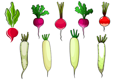 sappy: Crispy red and pink radishes and white daikon vegetables with sappy green leaves, for vegetarian food or agriculture theme, cartoon style Illustration