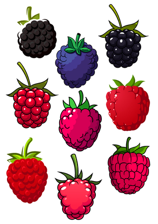 berries: Bright red juicy raspberry and blackberry fruits with green lush stalks for healthy food or agriculture theme