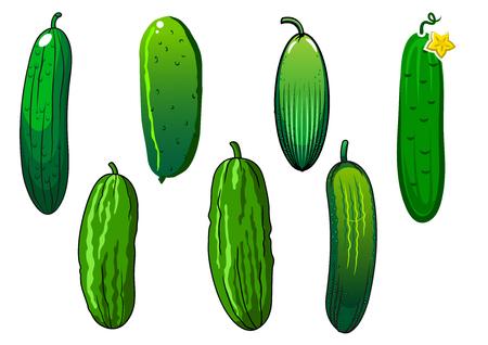 pepino caricatura: Verduras crujientes pepino con piel verde espinoso y flor amarilla, aislados en fondo blanco, para la agricultura o los temas de comida vegetariana