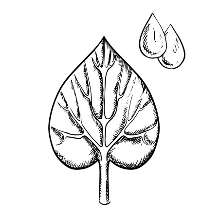 sappy: Heart shaped sappy leaf with pointed tip, deep notch at the base and detailed veins with water drops in upper corner isolated on white background, sketch style Illustration