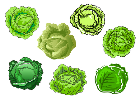 cabbage: Fresh cabbage vegetables with sappy green leaves isolated on white background, for agriculture or vegetarian food concept design