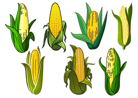 sweet corn: Bright yellow sweet corn or maize vegetable cobs, covered by green leaves, for agriculture or vegetarian food themes