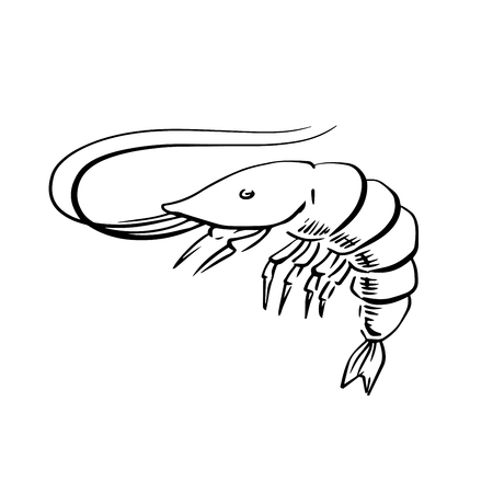 the antennae: Sketch of fresh marine shrimp or prawn with long curved antennae, for seafood menu or underwater wildlife theme. Sketch illustration