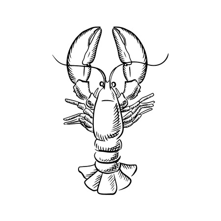 Atlantic ocean lobster with raised claws and big tail, for seafood theme menu in sketch style