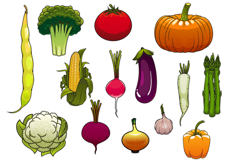 common bean: Colorful fresh tomato, pumpkin, corn cob, onion, broccoli, cauliflower, bell pepper, asparagus, eggplant, radish, common bean, daikon, garlic and beet vegetables from the autumn harvest