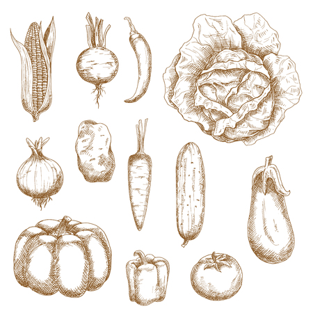 sketch: Healthy farm vegetables with corn, cabbage, beet, chili pepper, pumpkin, potato, pepper, carrot, eggplant, cucumber, onion, carrot and tomato. Retro sketch style